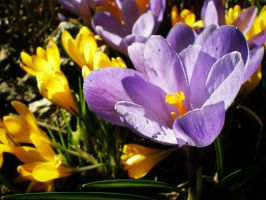 Spring crocus III by Xercatos