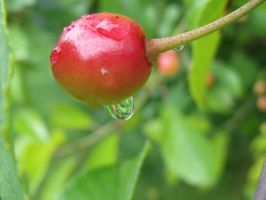 Sour cherry after rain by Sadova302b50