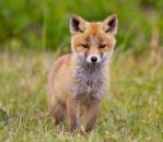 Red Fox Cub by AngelaLouwe