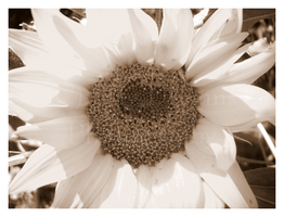 Sephia Sunflower Two by DayDreamsPhotography