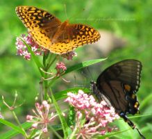 spangled fritillary and black tiger by Kimi-Parks