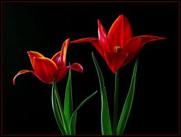ULTRA RED TULIPS by THOM-B-FOTO