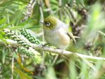 silvereye by Lionessrules