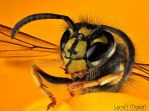 wasp2 by LeronMasoN