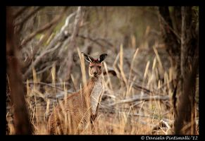 Wild Roo II by TVD-Photography