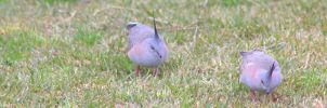Crested Pigeons by Tamamantix