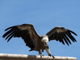 Bird 230 -wings of the vulture by Momotte2stocks