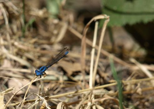 Blue Dragonfly by Besgar