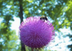 Bokeh, Bee and Thistle Bloom by sixwings