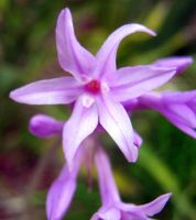 Purple Star Flower 3 by my-dog-corky