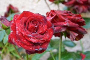 Red roses of my garden after the rain by A1Z2E3R