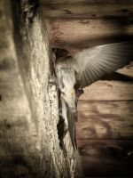 Cliff Swallows 2 by S-H-Photography