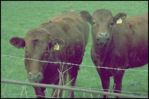 Two cows in a field by naomialexander