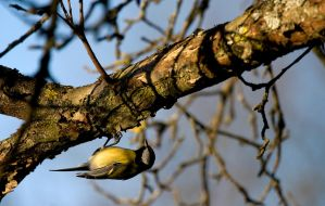 Great tit 3 by mv79