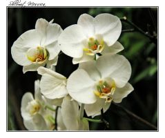 Orchids 8 by ShlomitMessica