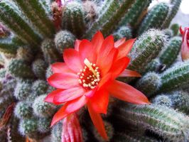Cactus by Lills11