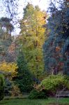 The Tall Liquidamber In Coombe Wood, November 15th by aegiandyad