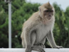 Macaque 1 by Cam-s-creations