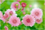 Chrysanthemum chorus by CecilyAndreuArtwork