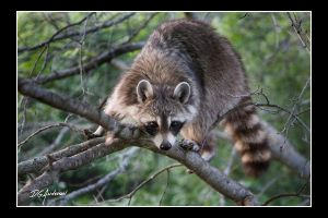 Momma Raccoon by DGAnder