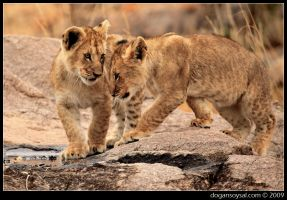 CUBS - III by dogansoysal