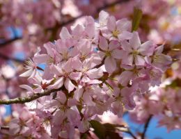 Cherryblossoms by Lingha
