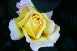 Rose 2 by Meret-Alexandra
