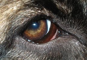 Dog eye 2 by NoraDevius