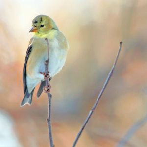 Finch Pastel by clippercarrillo