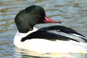 Male Mergus Merganser by janernn