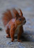 wiewiorka, squirrel by cycu55