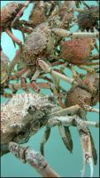 Spider Crabs by greenzaku