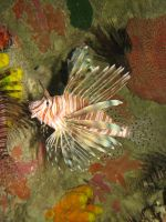 Lionfish by WindieDragon
