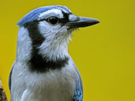 Blue Jay - Head by MichelLalonde