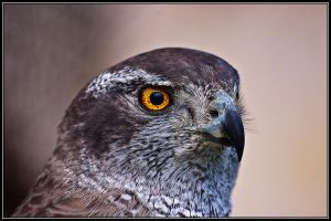 Northern Goshawk by ValdesBG