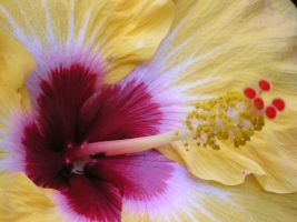 Yellow and Red Hibiscus by CASPER1830