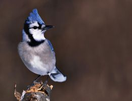 Blue Jay 5-d-2 by rossmk