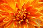 orange flower by BenVarga