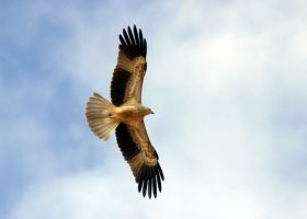 Whistling Kite by FirstLight75