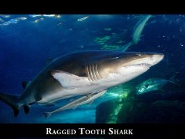 Ragged Tooth Shark by sacam101