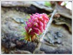 Larch Fruit by regansart