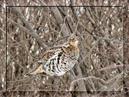 Ruffed Grouse by dove-51