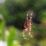 Striped legged spider by Jorapache