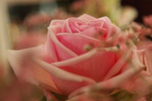 pink rose by picture-melanie