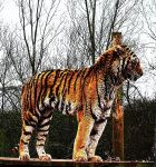 Tiger by DoctorWhoNutter