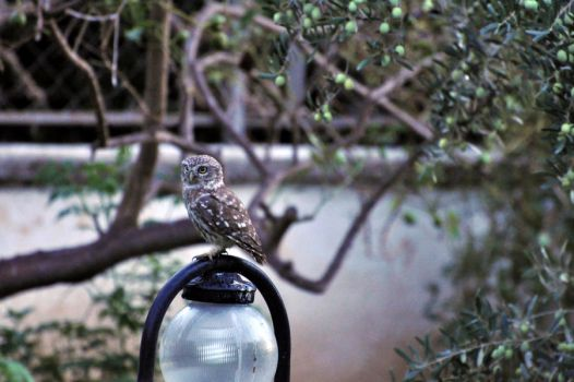 Owl in my garden by ozanenc