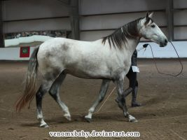 dapple gray andalusian stud by venomxbaby