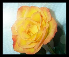 improved orange rose by tequilla56