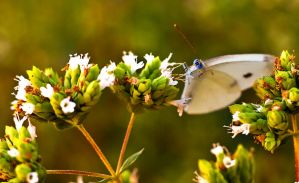 Blue eyed butterfly by gendosplace