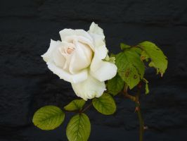 white rose by thebluemaiden
